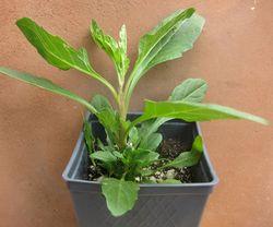 Epazsote plant
